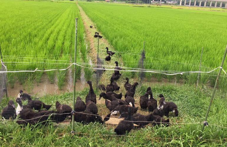 アイガモ農法 アイガモと水田 さわだ農園