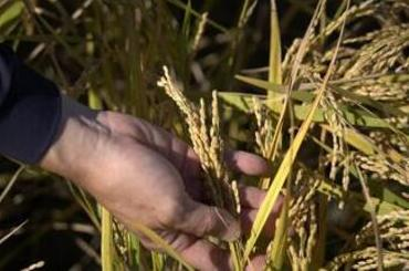 害虫対策 稲を調べる写真