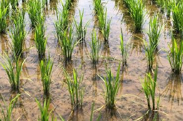 有機肥料のみの水田